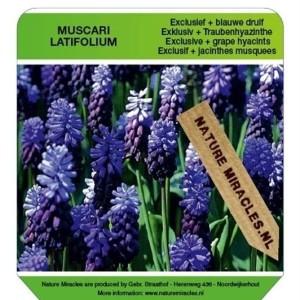 Muscari latifolium (Gebr. Straathof)