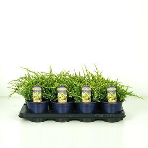 Juniperus squamata 'Holger' (Vredebest, Kwekerij )