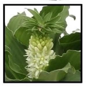 Eucomis autumnalis MIX (Vreugdenhil Bulbs & Plants)