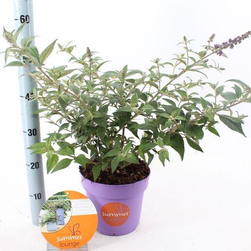 Buddleja LILAC TURTLE (About Plants Zundert BV)