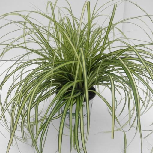 Carex oshimensis 'Eversheen' (Cammeraat Potcultuur)