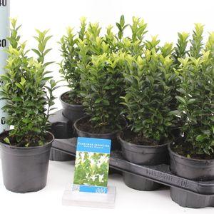 Euonymus japonicus PALOMA BLANCA (About Plants Zundert BV)