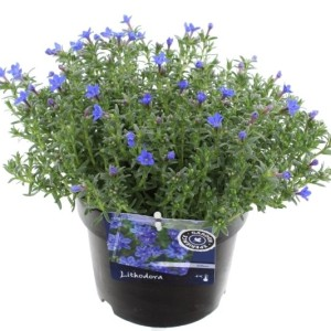 Lithodora diffusa 'Heavenly Blue' (Kwekerij de Noordpoel)
