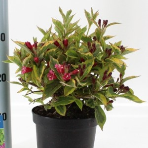 Weigela florida FRENCH LACE / MOULIN ROUGE (About Plants Zundert BV)