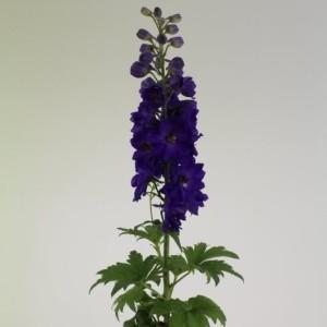 Delphinium 'Magic Fountains Dark Blue Dark Bee'