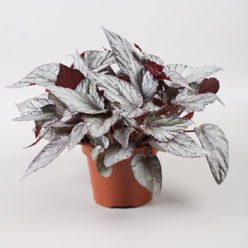 Begonia BELEAF ARCTIC BREEZE (Berghoef Plants)