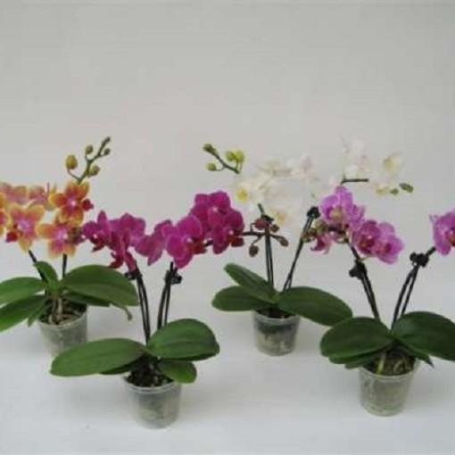 Phalaenopsis MIX (Gasa DK)