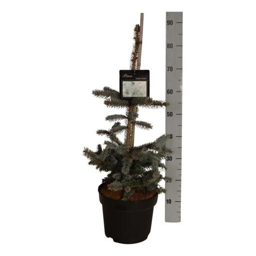 Picea pungens 'Hoopsii' (Boomkamp Boomkwekerijen B.V.)