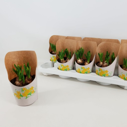 Tulipa PRINCESS MIX (Amstelzicht BV)