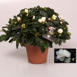 Rhododendron 'Witte Vogel'