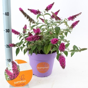 Buddleja RED DRAGON