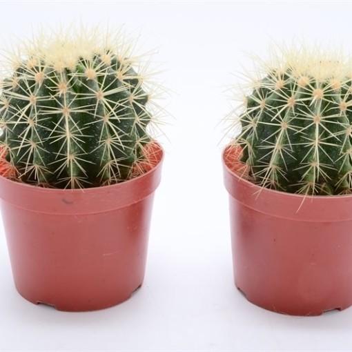 Echinocactus grusonii (Bunnik Plants)