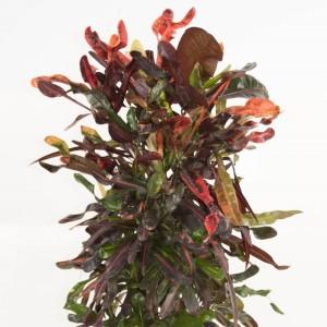 Codiaeum variegatum 'Curly Boy'
