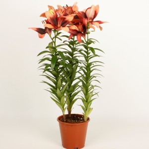 Lilium 'Tiny Shadow'