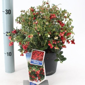 Vaccinium vitis-idaea FIREBALLS