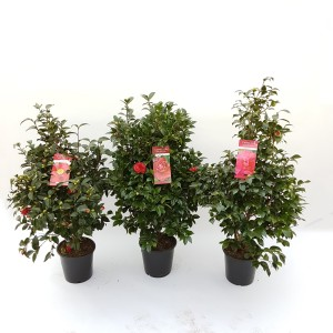 Camellia japonica MIX