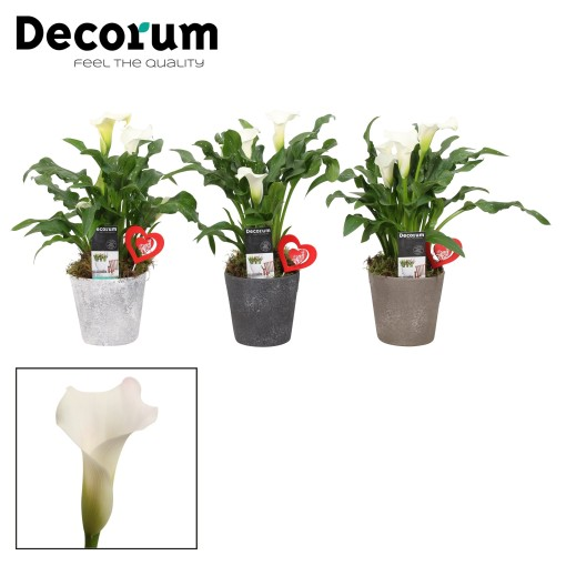 Zantedeschia MIX (Vreugdenhil Bulbs & Plants)