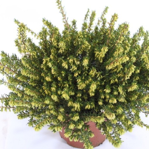 Erica x darleyensis 'White Perfection' (Experts in Green)