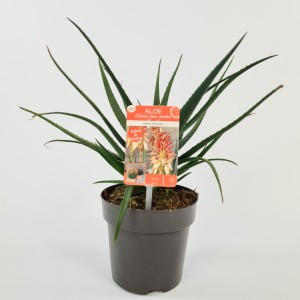 Aloe SAFARI SUNRISE