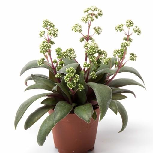 Crassula orbicularis rosularis (Gasa DK)