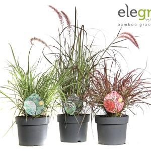 Pennisetum MIX (Hoogeveen Plants)