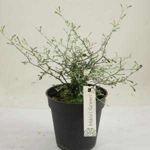 Corokia 'Maori Green'