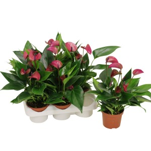 Anthurium KARMA PURPLE (Karma Plants)