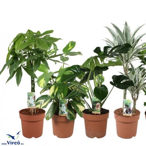 Houseplants MIX (Vireõ Plant Sales)