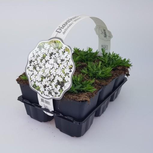 Dianthus deltoides (Sneijers Boomkwekerij)