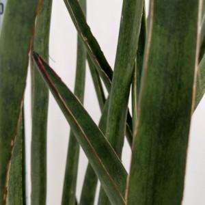 Sansevieria cylindrica 'Dessertii' (RuBa Baers)