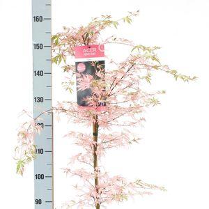 Acer palmatum 'Taylor' (Son & Koot BV)