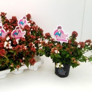 Abelia x grandiflora LITTLE LADY