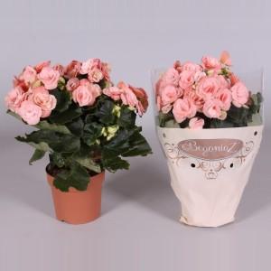 Begonia ELATIOR MIX (Amstelzicht BV)