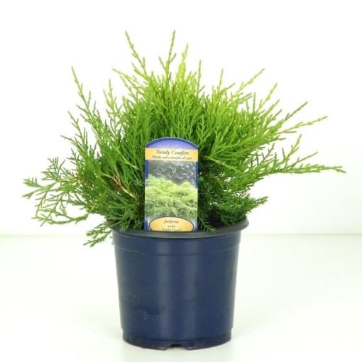 Juniperus x pfitzeriana 'Gold Coast' (Vredebest, Kwekerij)