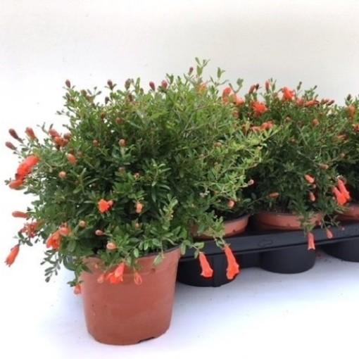 Punica granatum (Green Collect Sales)