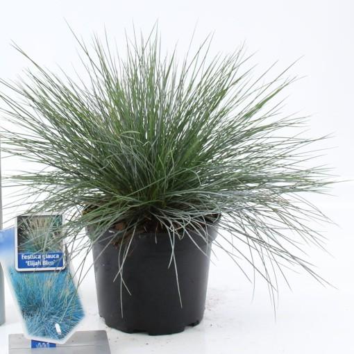 Festuca glauca 'Elijah Blue' (About Plants Zundert BV)