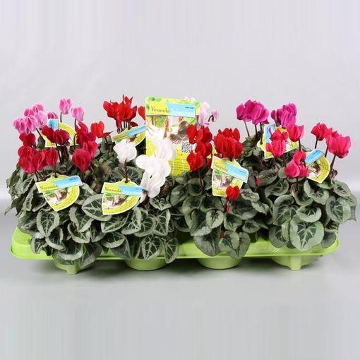Cyclamen VERANDA SELECTIONS (Endhoven Flowering Plants)