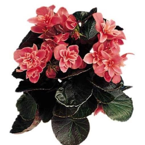 Begonia CEVECA (Gasa DK)