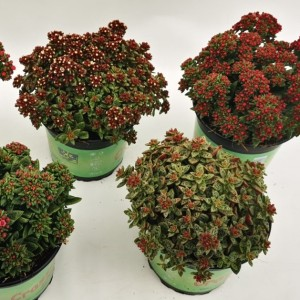 Crassula schmidtii MIX (Experts in Green)