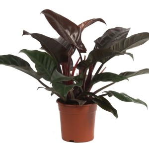 Philodendron 'Imperial Red' (Ammerlaan, The Green Innovater)