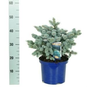 Picea pungens 'Glauca Globosa' (Vredebest, Kwekerij)