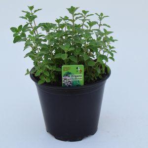 Origanum vulgare vulgare (Green Collect Sales)