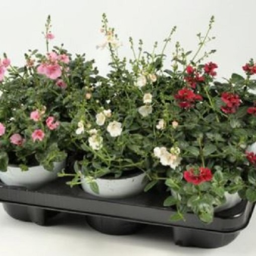 Diascia FLYING COLORS MIX (Experts in Green)