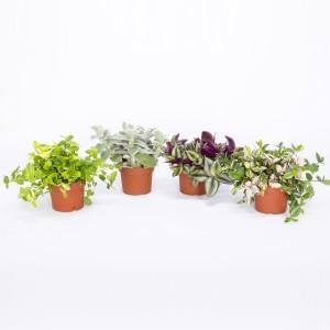Tradescantia MIX (Bunnik Plants)