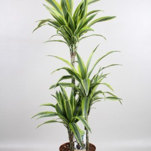 Dracaena fragrans 'Lemon Lime' (Vireõ Plant Sales)