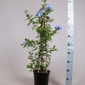 Plumbago auriculata 'Dark Blue' (Gebr. Seuren Rozenkwekerijen BV)