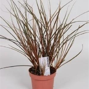Uncinia rubra (Handelskwekerij van der Velden)