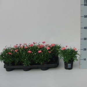 Argyranthemum frutescens CYMBALS LIGHT PINK
