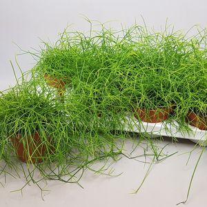 Rhipsalis baccifera 'Oasis' (Ubink)
