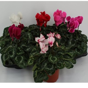 Cyclamen persicum HALIOS MIX (Sonneveld Plants)